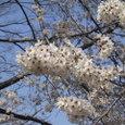 桜2006-01