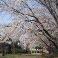 桜2006-02