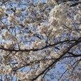 桜2006-03