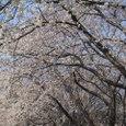 桜2006-04