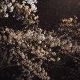 桜2006-05