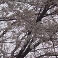 桜2009-02