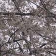 桜2009-03