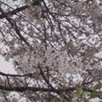 桜2009-04