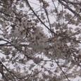 桜2009-05