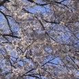 桜2008-01