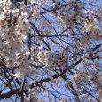 桜2008-02