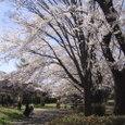 桜2008-03